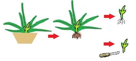 Aloe vera leválasztásának technikája