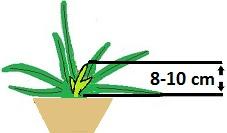 Aloe vera méretének számítása