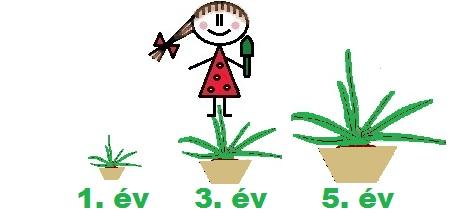 A növény méretei 1, 3 és 5 évesen