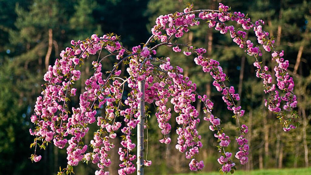 4 díszfa, ami még a legegyhangúbb kerteket is feldobja