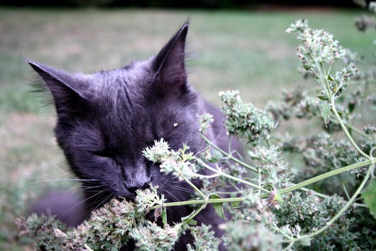 Macskamenta: Hogyan hat cicádra és hogyan termeszd? (Útmutató)