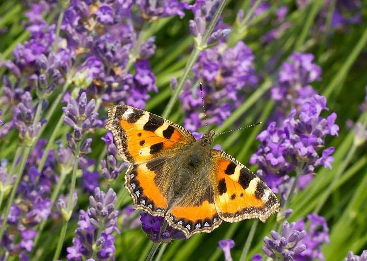 pillangó levendula virágain