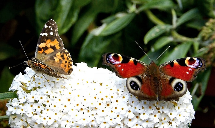 pillangók hada