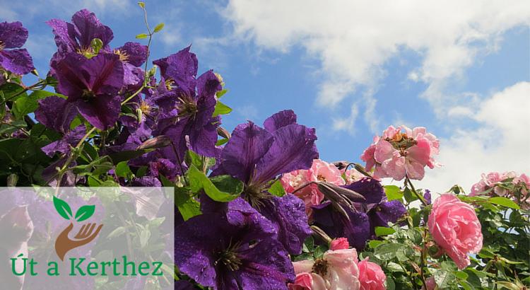 Rózsa és klemátisz: A növénypárosítás, ami megdobogtatja a szíved