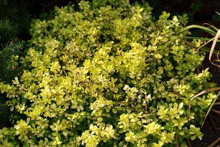 törpe arany lombú japán borbolya