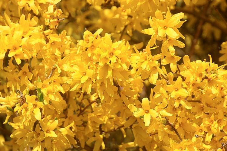 Útmutató: Az aranycserje és más kora tavaszi bokrok metszése