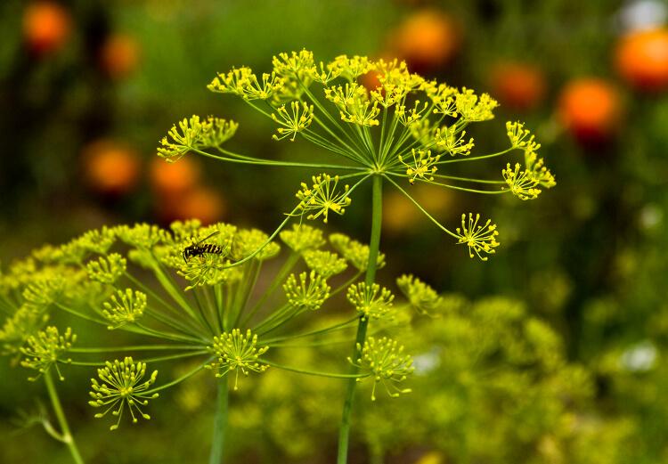 kapor virága