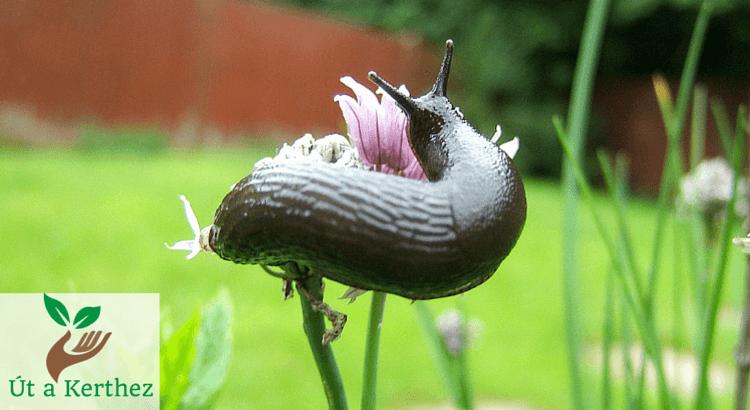 Hogyan tüntesd el a meztelen csigát kertedből – állatbarát módszerekkel