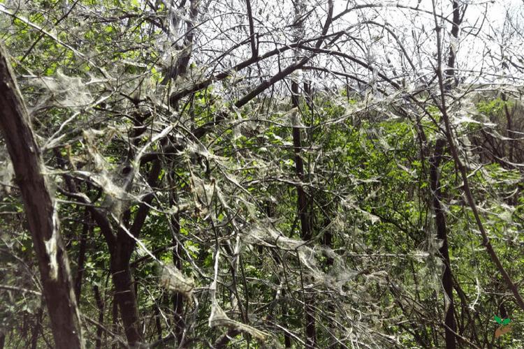 Ha ilyen pókhálót látsz a fádon, akkor veszélyben van – Mit tehetsz ellene?