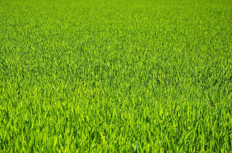 egészséges fű