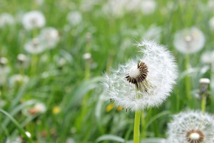 Gyep gyomirtása: Hogyan védekezz a gazos fű ellen?