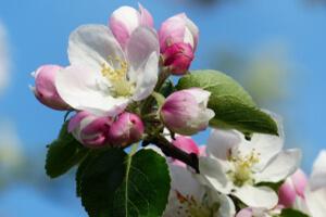 almafa virág