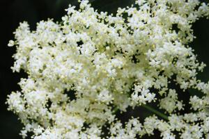 bodzavirág