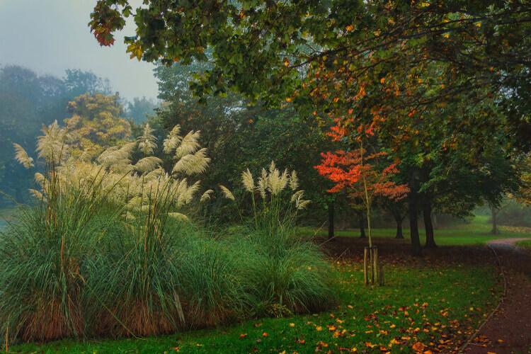 pampafű ősszel