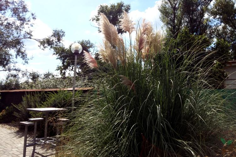 Pampafű: Lépésről-lépésre útmutató az ültetéstől a gondozásig