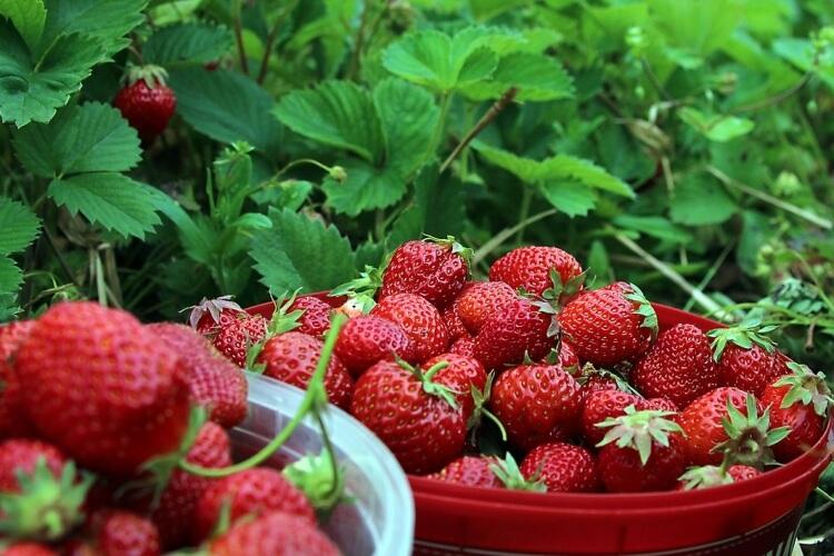 kerti gyümölcsök