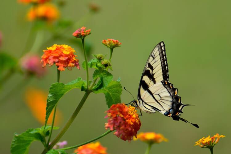 pillangó virágon