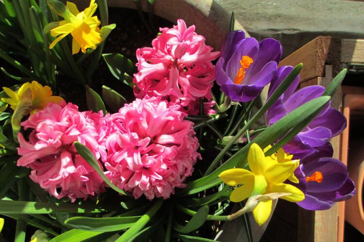 Hogyan ültesd a tavaszi hagymás virágokat cserépbe – útmutató