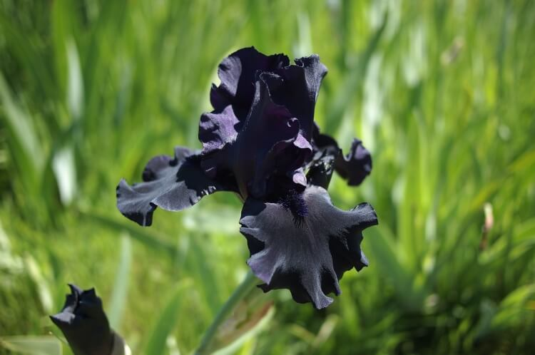 """14 fekete virág, amiről azt fogod mondani: """"hűha"""" – KÉPEK"""
