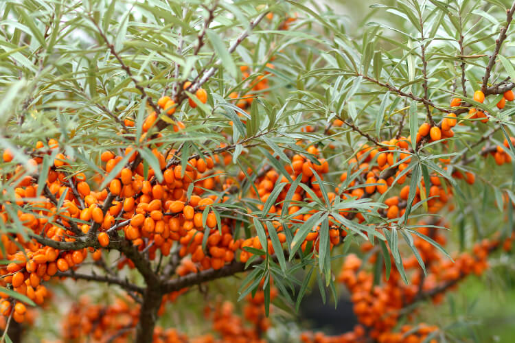 Homoktövis: Teljes útmutató a fiatalság elixírjének tartott növényről
