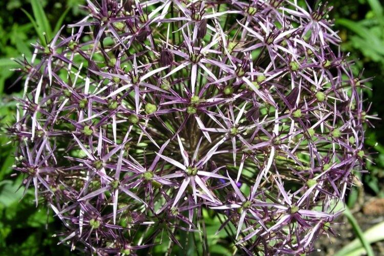 Allium 'Albopilosum'