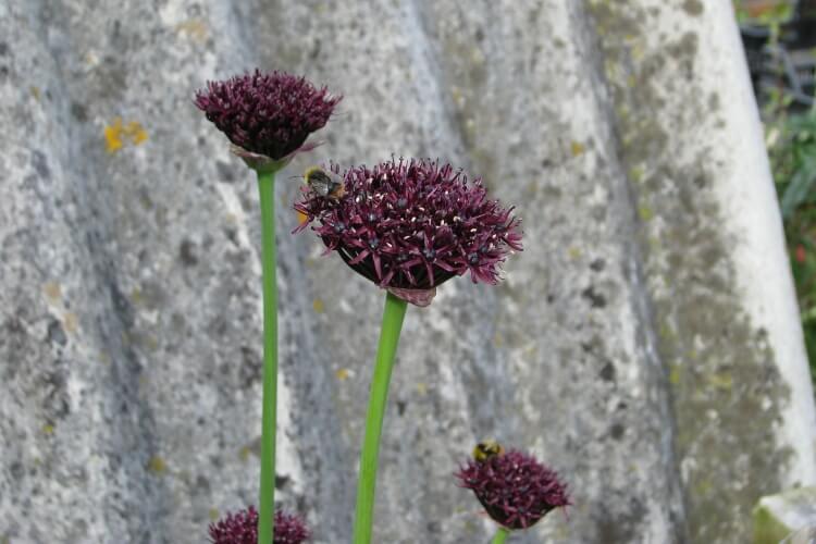 Allium 'Atropurpureum'