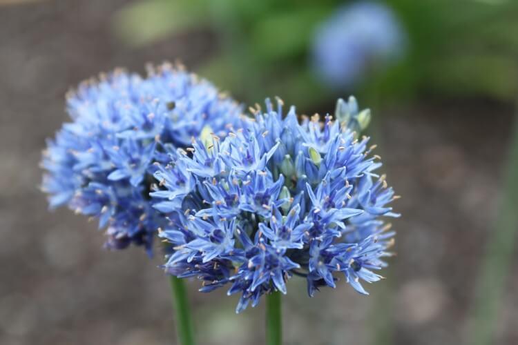Allium 'Caeruleum'
