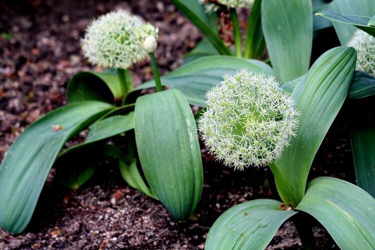 Allium 'Ivory queen'