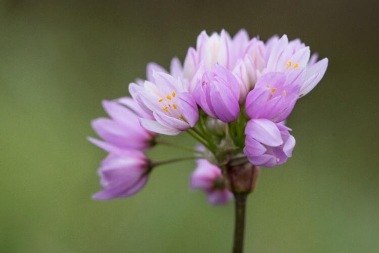 Allium 'Roseum'