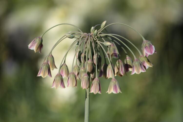 Allium 'Siculum'