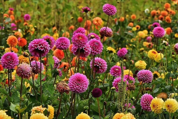 dália virágok