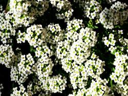 illatos ternye/mézvirág