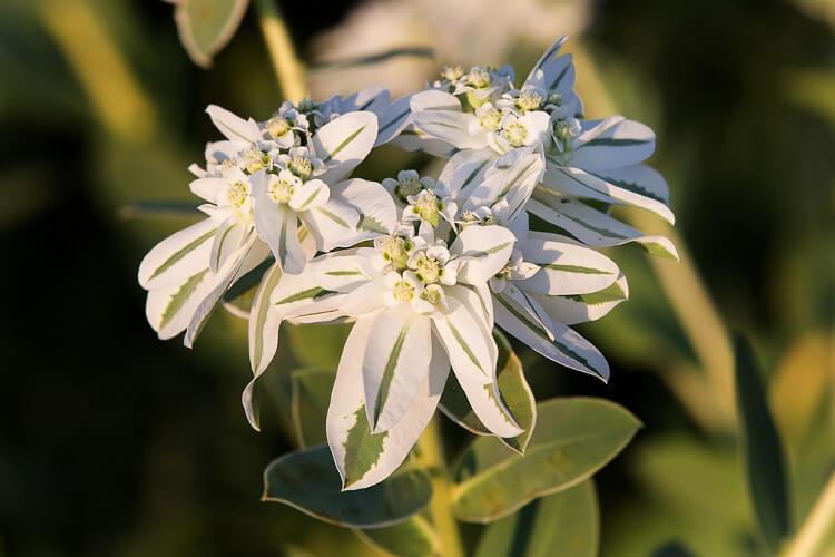 Jégvirág: Minden, amit egy kertészkedőnek tudnia kell róla