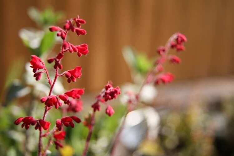 vérvörös tűzeső virág