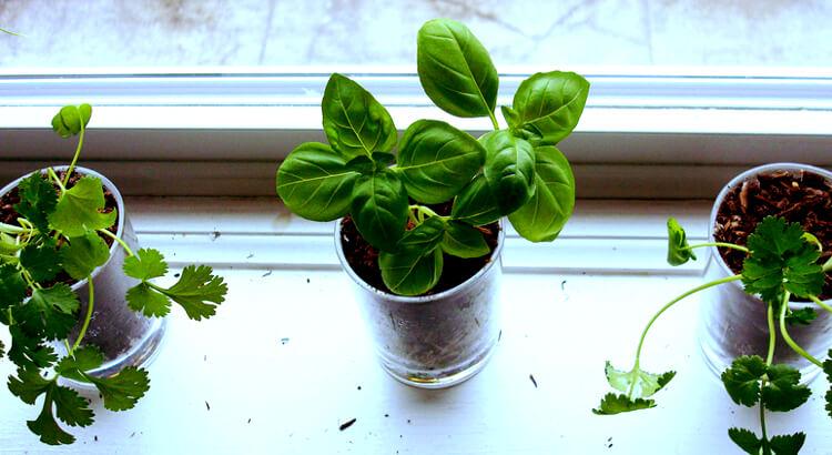Fűszernövények lakásban: Beszerzéstől a gondozásig [útmutató]