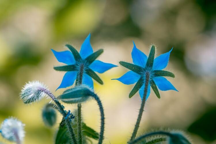 kerti borágó