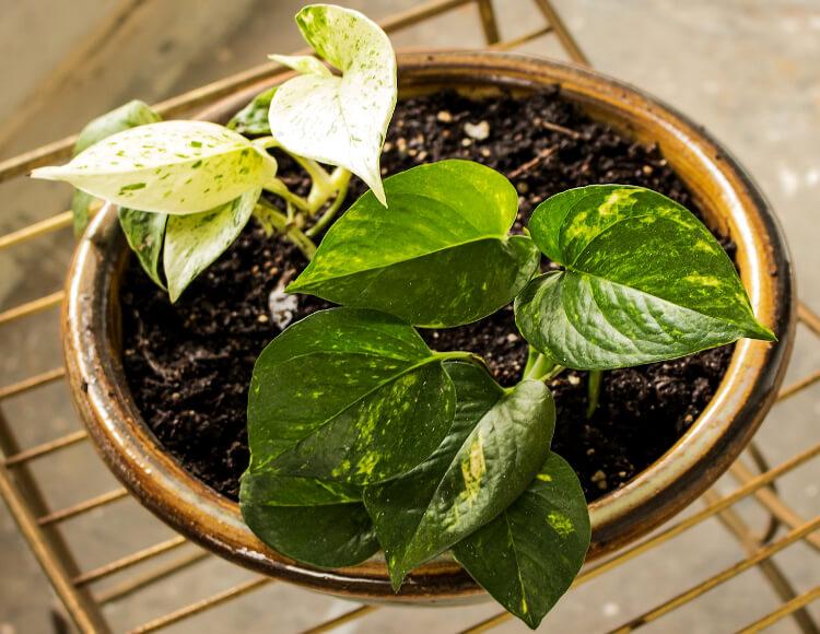melegkedvelő szobanövények