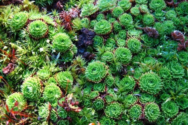 talajtakaró növények