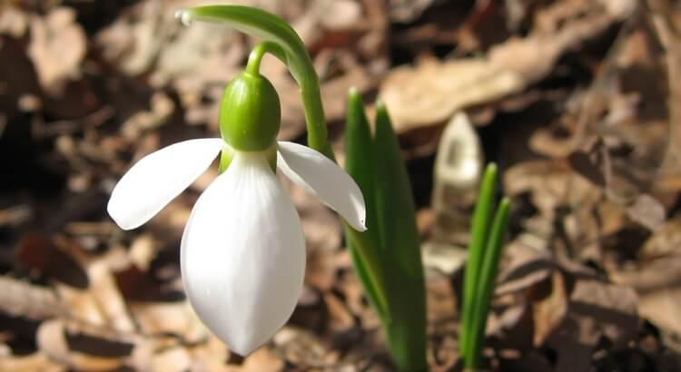 Hóvirág nevelése kertben: A teljes útmutató (lépésről-lépésre)