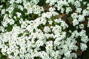 kaukázusi ikravirág