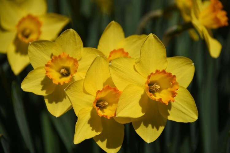 nárcisz virág képek