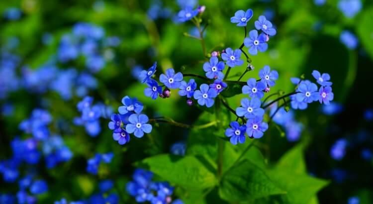 Nefelejcs: A kertészkedők útmutatója (ültetéstől a gondozásig minden)