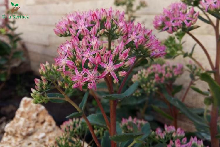A sziklakert sztárjai: A 7 különleges növény (és elhelyezésük)