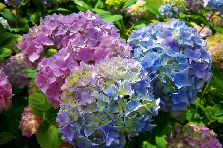 színes hortenziák