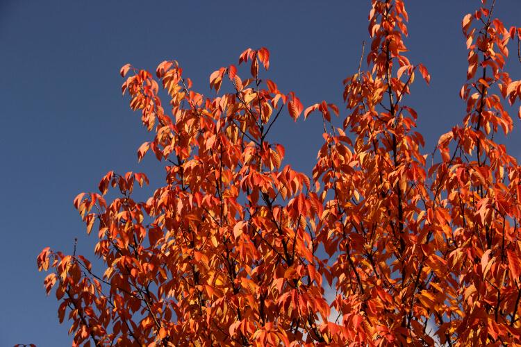 japán díszcseresznye ősszel