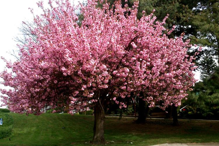 rózsaszín fa