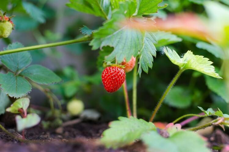 Eper termesztése: Az ültetéstől a gondozásig (Minden egy helyen)