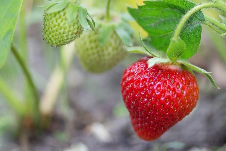 piros gyümölcs