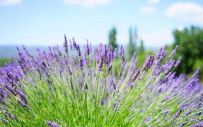 Levendula: Az ültetéstől a metszésig – minden egy helyen (Útmutató)