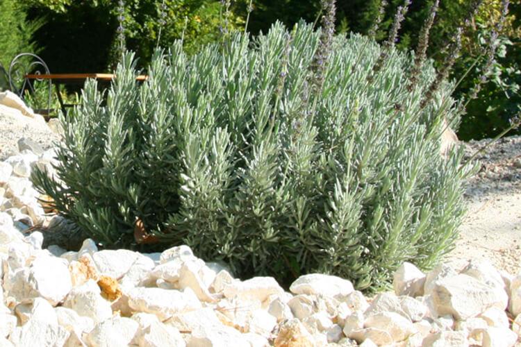 levendula gondozása kertben